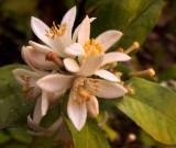 Blossoms on my lemon tree again