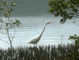 Egret  in mangroves  – 1