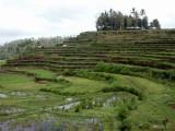 Rice terraces near Selat