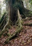 Tree Butt, Dorrigo NP