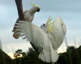 Two cockatoos