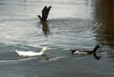 Duck domestic