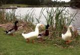 Beside Lake Belvedere, Bicentennial Park