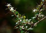 Bursaria spinosa, I am told