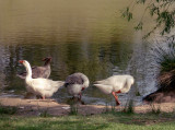 Geese preparing to go out