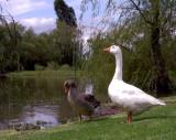 Assertive Geese