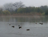 Winter morning, with ducks