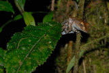 Grenouille Boophis madagascariensis