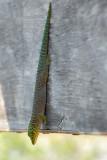 Gecko Diurne de Standing