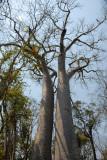 Baobab Adansonia za
