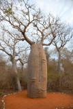 Baobab rouge