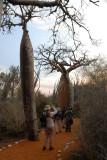 Observateurs d'oiseaux au lever du solei sur les Baobabs rouges
