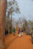 L'Allée de Baobabs Africains