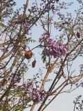 Flamboyant bleu (Jacaranda mimosifolia)