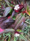 Fleur' Tristemma mauritianum