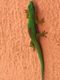 Gecko diurne à bandes