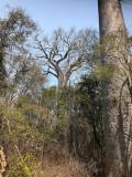 Nos premiers Baobab