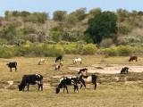 Un troupeau de zébu