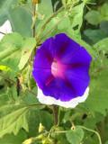 Volubilis (Ipomoea purpurea)