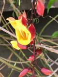 La Liane de Mysore (Thunbergia mysorensis)