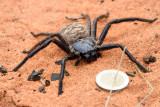 Une énorme araignée du genre Damastus
