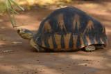 Tortue Étoilée de Madagascar