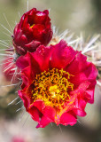 Sonoran Desert Bloom – Arizona