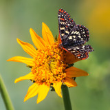Butterfly on a flower in the Hetch Hetchy Valley of Yosemite NP