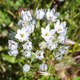 Wildflowers in the Hetch Hetchy Valley of Yosemite NP