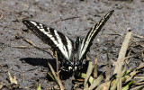 Large butterfly in the Hetch Hetchy Valley of Yosemite NP