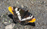Butterfly on the ground in the Hetch Hetchy Valley of Yosemite NP