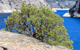 Manzanita Bush on the edge of the reservoir in the Hetch Hetchy Valley of Yosemite NP