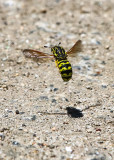 Yellow Jacket hovers over the Wapama Falls Trail in the Hetch Hetchy Valley of Yosemite NP