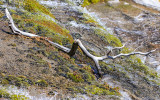 Timeworn tree branch in a mountain stream in the Hetch Hetchy Valley of Yosemite NP