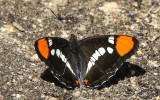 Butterfly close up in the Hetch Hetchy Valley of Yosemite NP