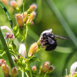 Large bee taking pollen from a Yawning Penstemon in the Hetch Hetchy Valley of Yosemite NP