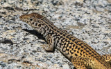 Lizard on granite along the Wapama Falls Trail in the Hetch Hetchy Valley of Yosemite NP