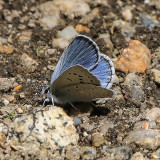 Blue butterfly on the ground in the Hetch Hetchy Valley of Yosemite NP