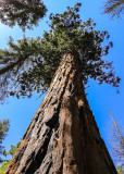 Large Sequoia in the Mariposa Grove in Yosemite National Park