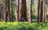 Sequoia among spruce trees in the Mariposa Grove in Yosemite National Park