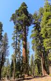 Towering Sequoia in the Mariposa Grove in Yosemite National Park