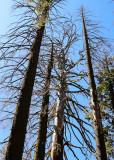 Barren trees in the Mariposa Grove in Yosemite National Park