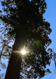 The sun through the Sequoia canopy in the Mariposa Grove in Yosemite National Park