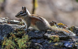 Least Chipmunk on a downed tree along the Taft Point Trail in Yosemite National Park