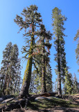 Trees along the Taft Point Trail in Yosemite National Park