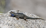 Blue-bellied or Western Fence Lizard on a granite rock along the Pohono Trail in Yosemite National Park