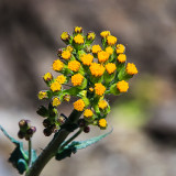 Sierra Butterweed plant along the Pohono Trail in Yosemite National Park