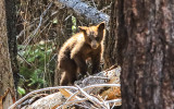 Bear Cub on a downed tree near Glacier Point in Yosemite National Park