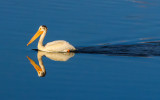 A pelican in a pond in Grand Teton National Park