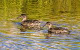 Ducks on the Snake River in Grand Teton National Park